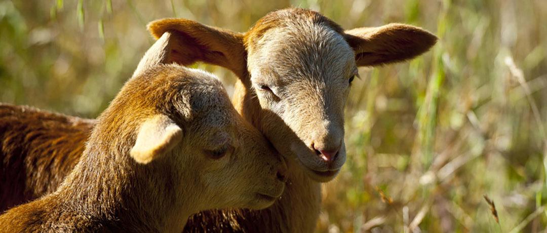 À propos de la viande «Halal» et «Cacher»